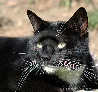 Short-haired Black Cat with White Chin