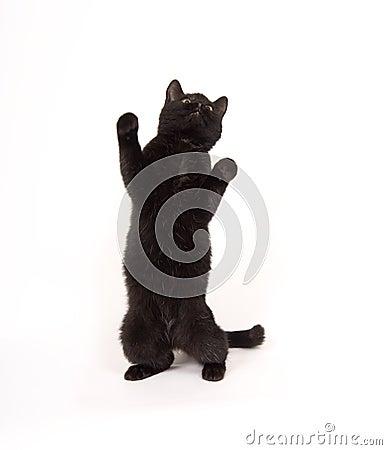 Black cat on hind legs