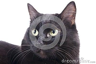 Black cat muzzle isolated