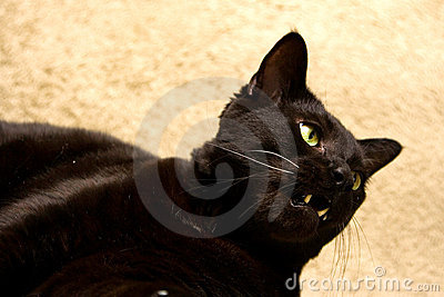 Black cat with open mouth