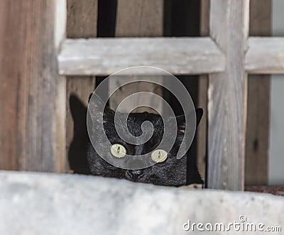 Black cat peeping from a window pane