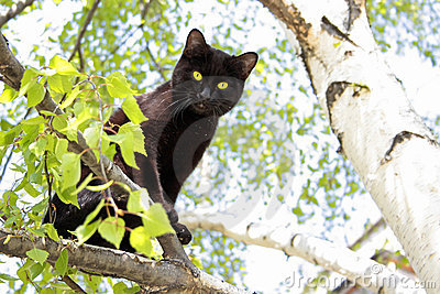 The black cat sits on a birch