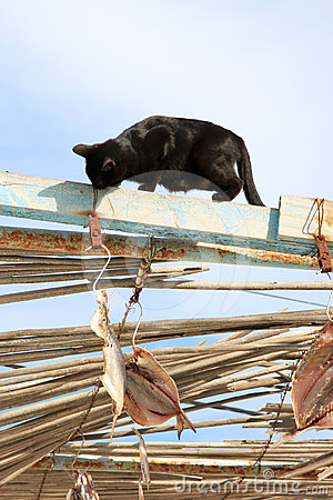 Black cat tries to steal drying fish, Spain