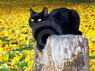 Black cat on yellow leaves