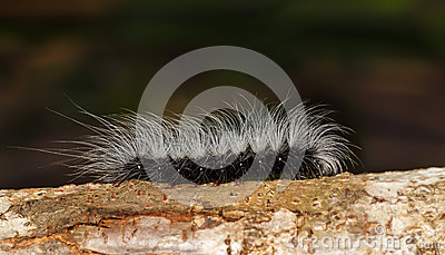 Black caterpilar with white hairs on tree