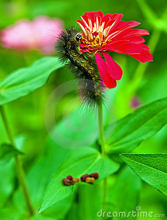 Black caterpillar on red zinnia flower