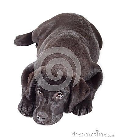 Black-Chocolate Labrador Retriever Puppy