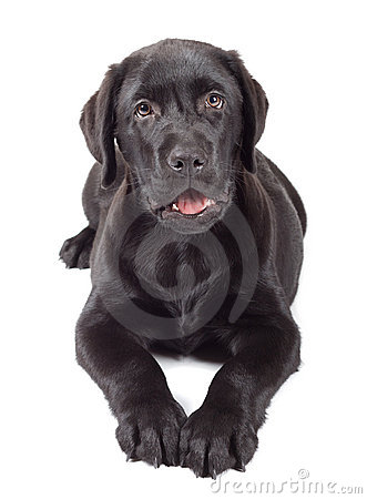Black-Chocolate Labrador Retriever Puppy