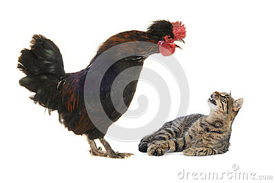 Black cock and cat