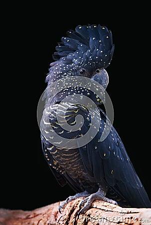 Free Black Cockatoo Stock Photos - 25574363