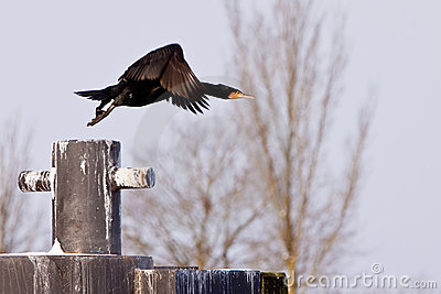 Black cormorant bird flying