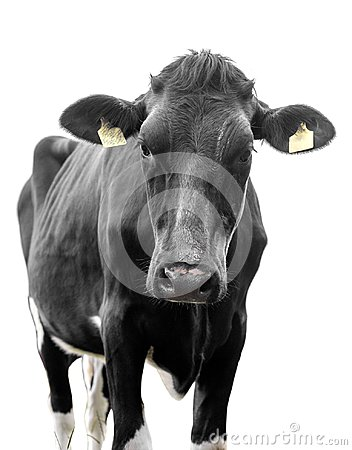 Free Black Cow On A White Background Stock Photography - 115503962
