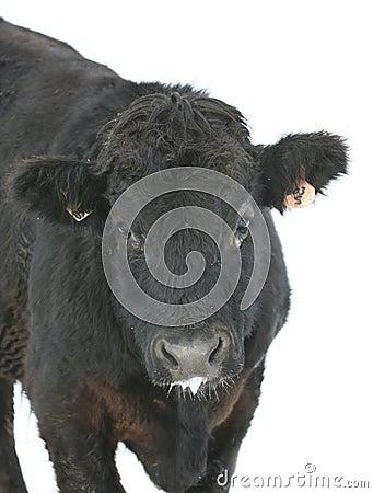 Black Cow on white