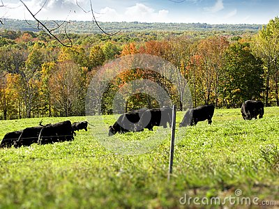 Black Cows Grazing in a Field