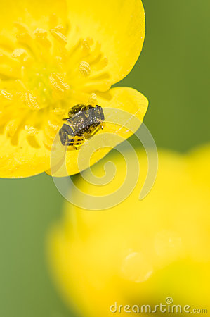 Black crab spider on yellow flower