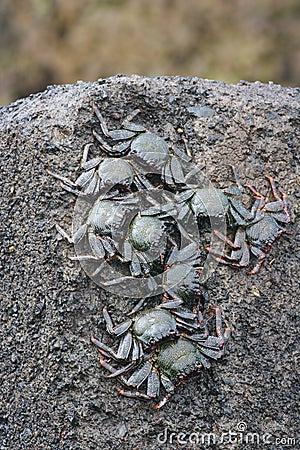 Black Crabs