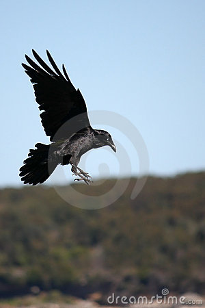 Free Black Crow Coming In To Land. Stock Photography - 10664152