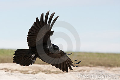 Black Crow coming in to land.