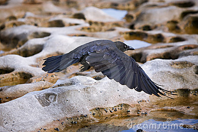 Black crow in flight over rocky terrain