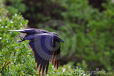 Black crow flying from bush perch.
