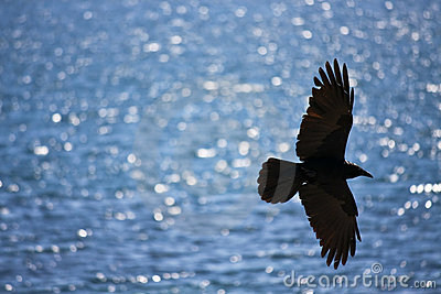 Black crow soaring over water