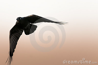 Black crow turning in flight