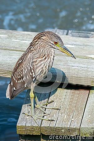 Free Black-crowned Night Heron Royalty Free Stock Image - 29111556