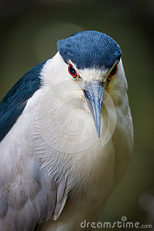 Black-crowned night-heron in Jamaica Bay, Queens,