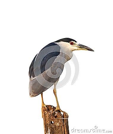 Free Black-crowned Night-heron, Nycticorax Nycticorax Royalty Free Stock Photos - 78110008
