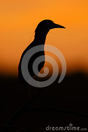 Black-crowned Night Heron silhouette (Nycticorax nycticorax). Patagonia, Argentina, South America.