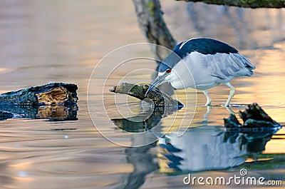 Wading Night Heron