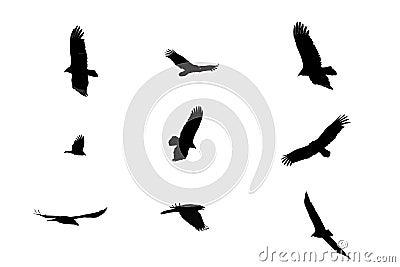 Black crows.