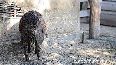 Black dirty sheep on a farm.  stock video footage