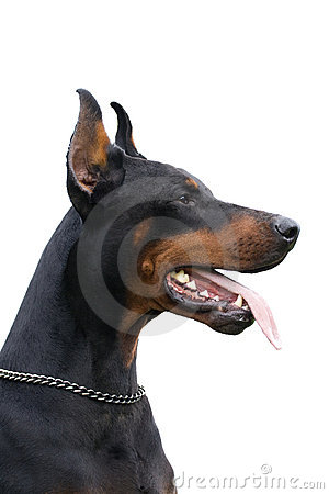 Black dobermann isolated over white