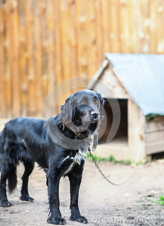 Black dog on chain