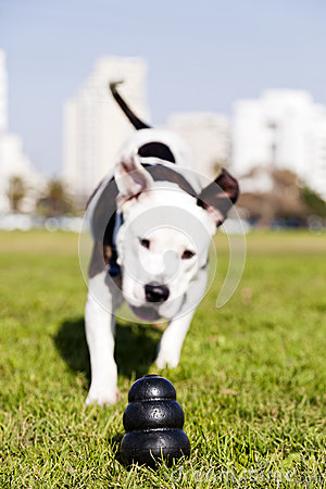 Pitbull Running to Dog Toy on Park Grass