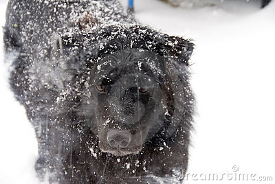 Black dog covered in snow