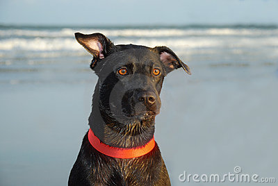 Black dog with ear cocked