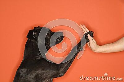 Black dog giving woman high five.