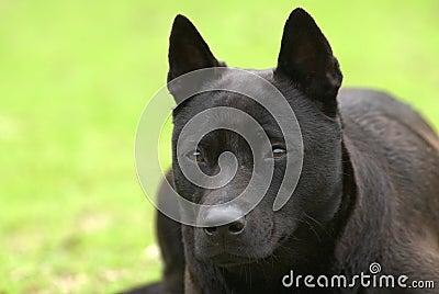 A black dog lay on the grassland