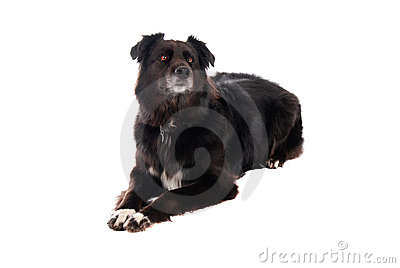 A black dog laying down