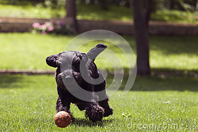 Black dog running after a ball, man playing with dog