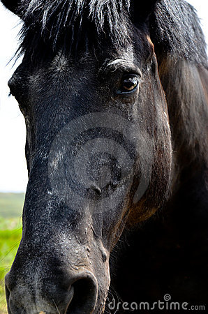 Black Draft Horse