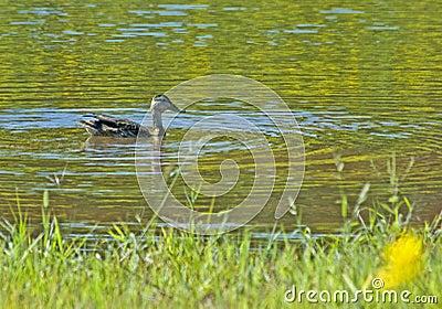 Black Duck on Pond