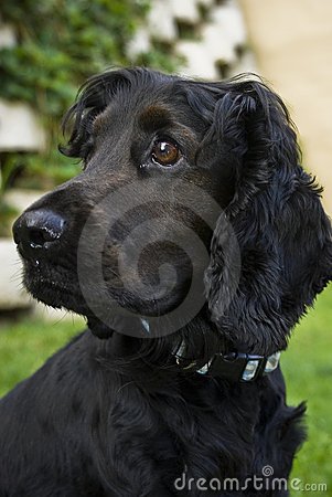 Black English Spaniel - Side Profile