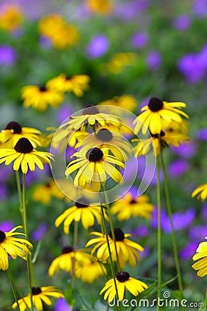 Free Black Eyed Susan Royalty Free Stock Photo - 11699035
