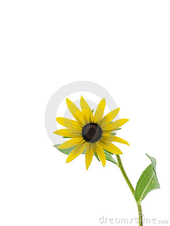 Free Black-eyed Susan Royalty Free Stock Images - 2803949
