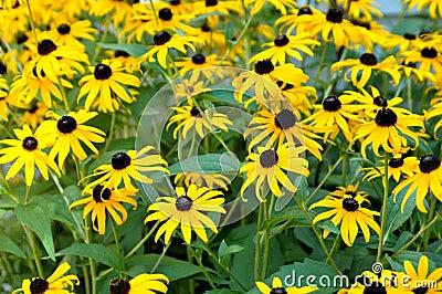 Black eyed susan daisy