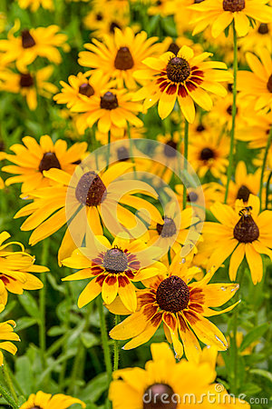 Free Black-Eyed-Susan Flower Stock Images - 56427544