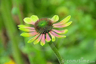 Black-eyed Susan Green Envy